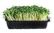 Клевер красный для проращивания микрозелени, 100г