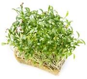 Кориандр (Кинза) для проращивания микрозелени и зелени, 100г