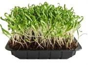 Шпинат семена для выращивания салата, 100г