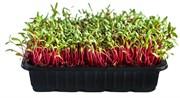 Свекла красная семена для проращивания микрозелени и беби листьев, 100г