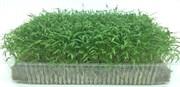 Морковь для проращивания микрозелени, 100г